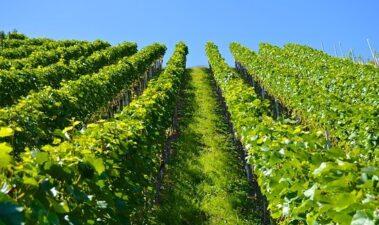 Australia quiere liderar el mercado del vino en el año 2025
