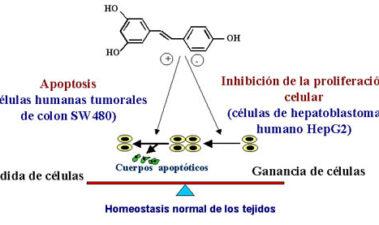 El resveratrol del vino: ¿una molécula anticancerosa?
