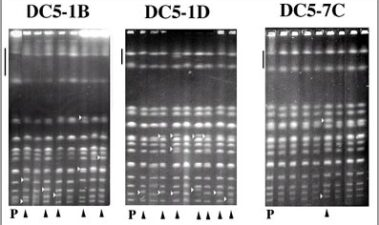Análisis de la inestabilidad genética de cepas de levaduras para cava
