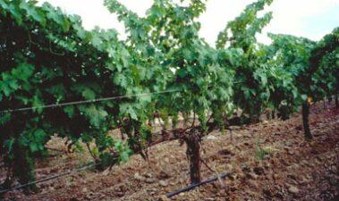 Características de las variedades destinadas a la elaboración de cava