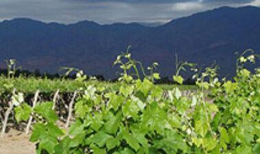 Vitivinicultura de altura en los Valles Calchaquíes de Salta (Argentina)