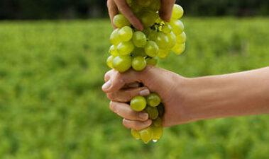 Efectos saludables del vino y de los subproductos de vinificación