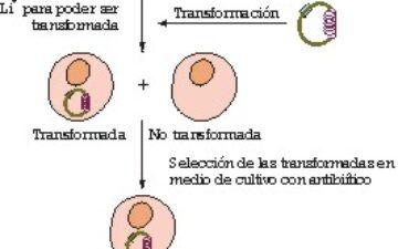 Modificación genética de levaduras vínicas
