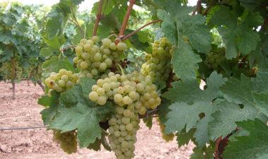 Tempranillo blanco: una variedad fruto de la variación genética de la vid (Vitis vinifera L)