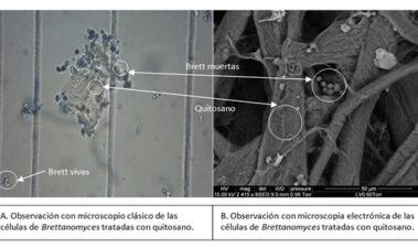Quitosano de origen fúngico, una herramienta natural de lucha contra Brettanomyces