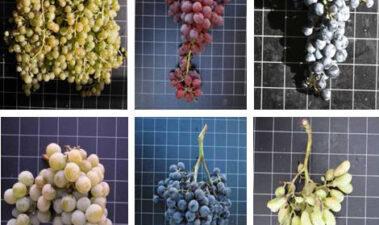 Estructura y composición de la uva y su contribución al vino
