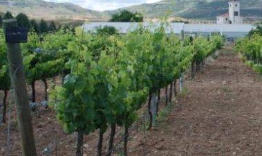 Situación del patrimonio varietal de la especie Vitis vinifera L.
