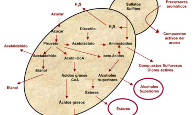 Levaduras no Saccharomyces para modular el aroma de los vinos: incremento del acetato de 2-feniletilo mediante cultivos iniciadores mixtos