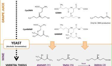 Los tioles varietales: información actualizada sobre las vías de la biogénesis y el impacto de técnicas vitivinícolas